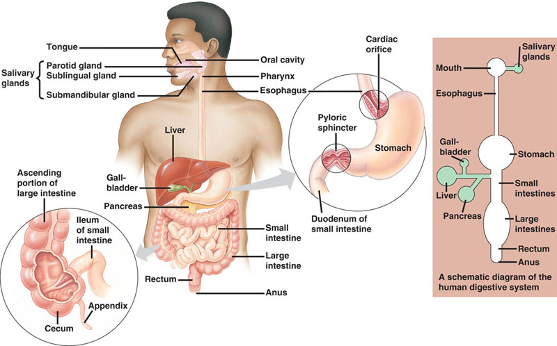 The Digestive System Barriers Health And Fitness